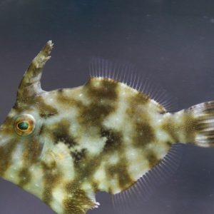Matted Filefish (Acreichthys tomentosus)-6432