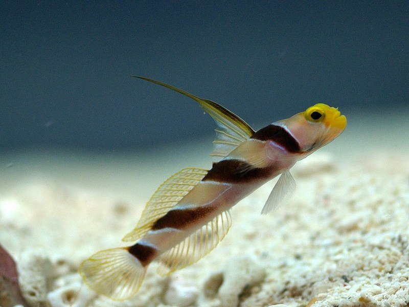 Hi Fin Red Banded Goby (Stonogobiops nematodes)-6451