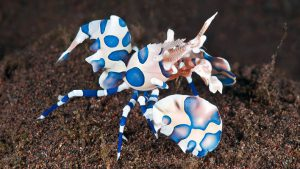 harlequin-shrimp_featured